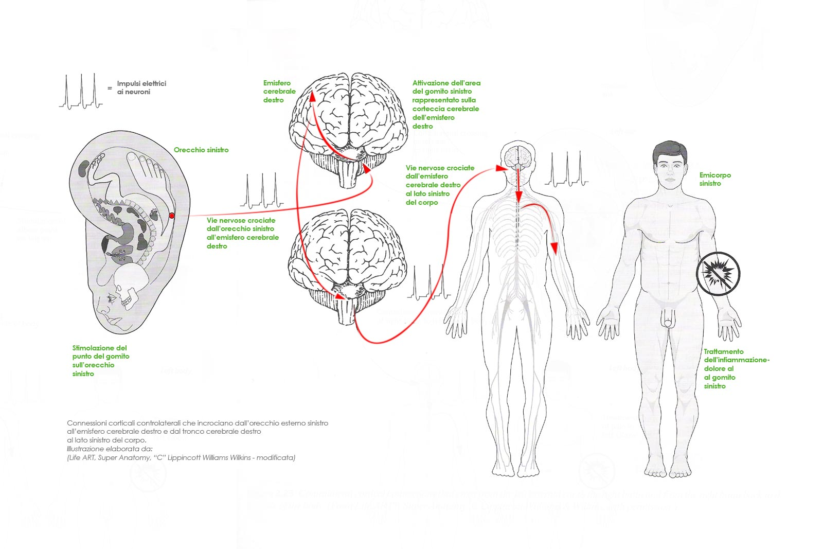 Connessioni corticali
